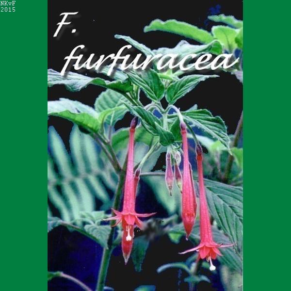 F. furfuracea