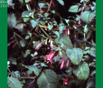F. ravennii 81-110 tweeslachtig