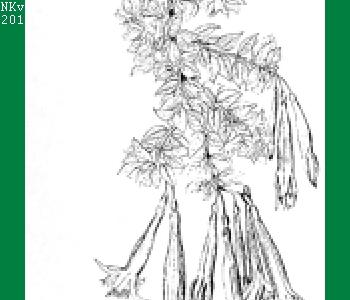 F. confertifolia