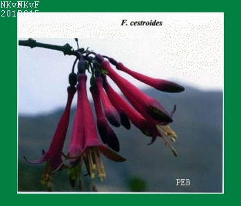 F. cestroides