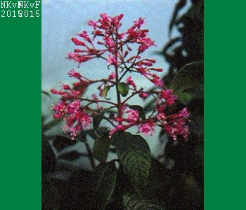 F. arborescens Normaal