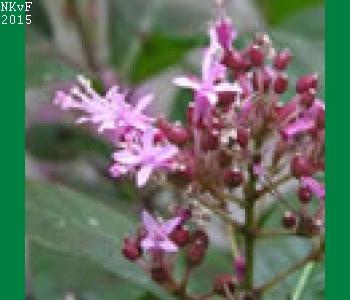 F. paniculata var. lindley .48-801